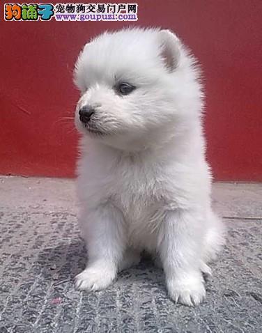 银狐犬找新家 纯正血统完善服务 签订活体协议