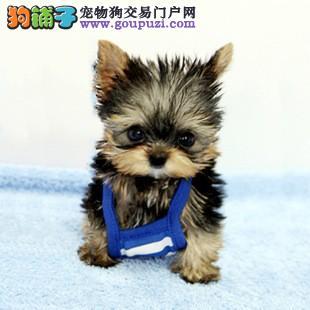 专业繁殖基地售顶级约克夏幼犬 签订售后协议