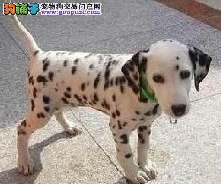 极品纯正的重庆斑点狗幼犬热销中签订终身纯种健康协议
