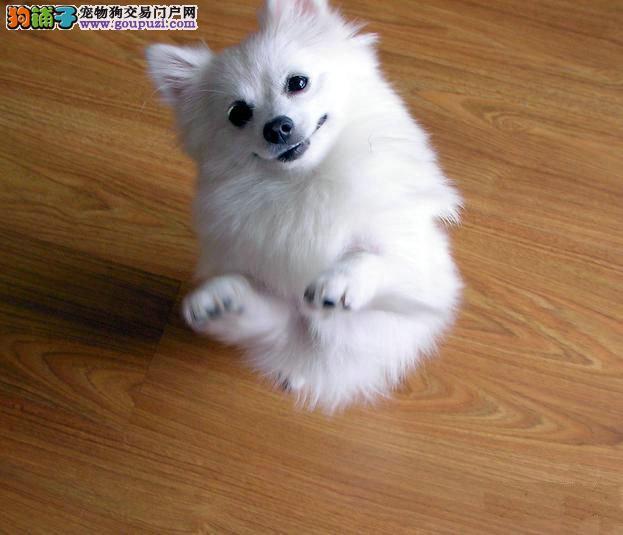 杭州哪里出售银狐犬纯种银狐犬出售银狐犬照片