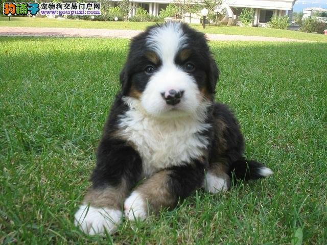 犬场售伯恩山犬幼犬公母都有本市可送货上门疫苗齐全