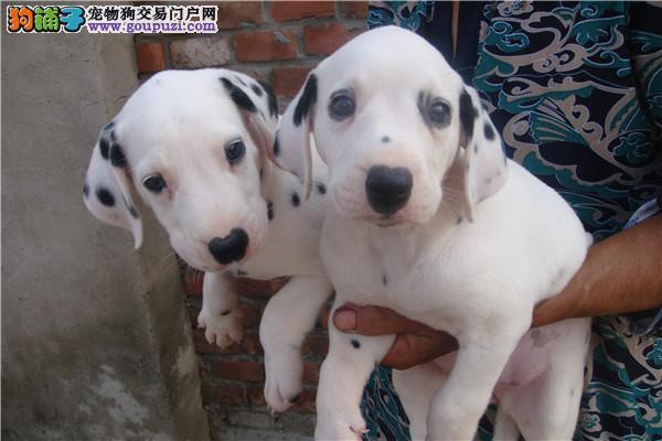 专业正规犬舍热卖优秀的斑点狗欢迎上门选购价格公道