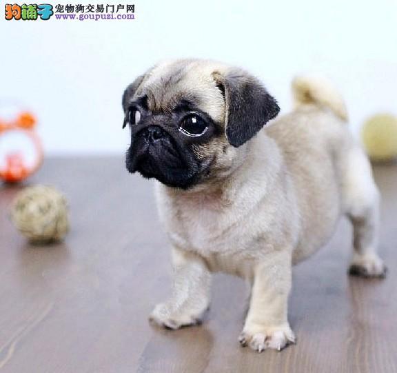 嘉定/纯种高品质八哥幼犬出售可以上门挑选送货到家[三个月公母全有]