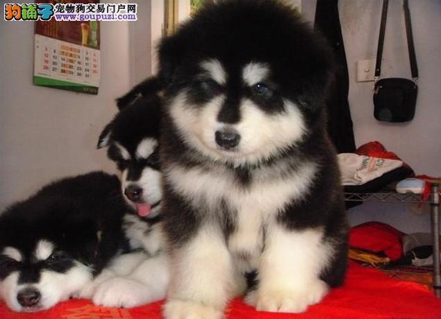 阿拉斯加雪橇犬出售了 粗壮的骨骼,健康可以上门参观
