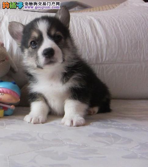威尔士柯基崽崽公母都有2-3个月的幼犬基地常年出售