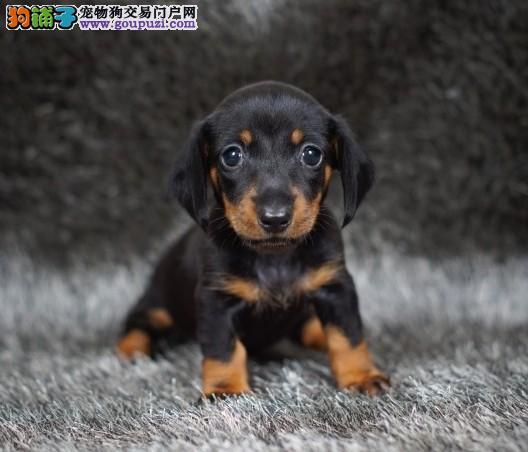 重庆养殖场直销完美品相的腊肠犬赠送全套宠物用品