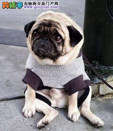 厦门出售高品质巴哥幼犬 100%纯种包健康