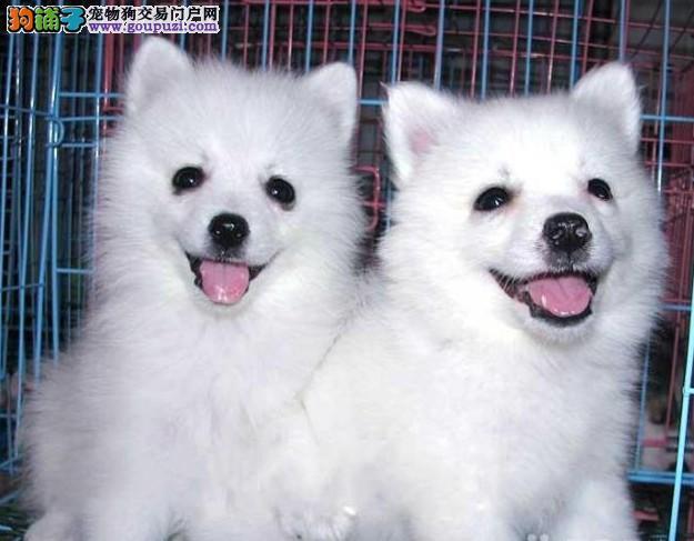 纯种银狐犬 正宗日本尖嘴出售 哪里有卖银狐犬银狐价格