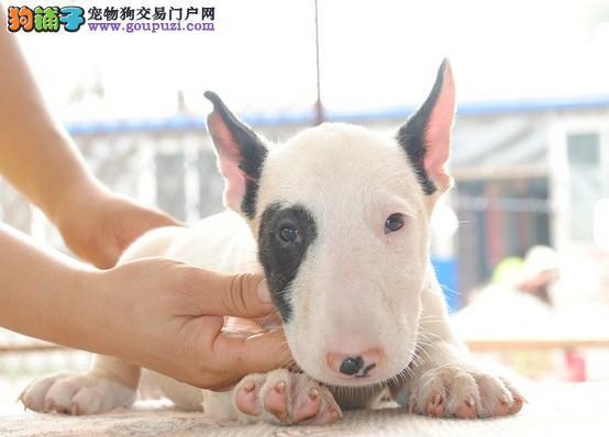 广州狗场专业繁殖出售牛头梗 健康机警