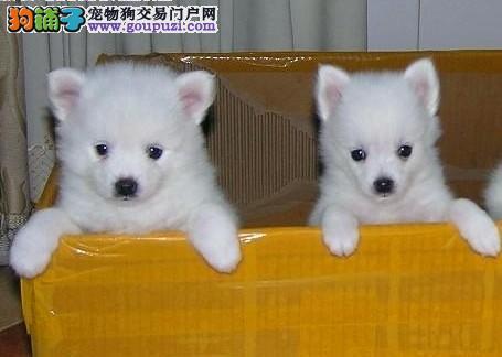 精品银狐犬热卖中、CKU认证绝对保障、签订正规合同