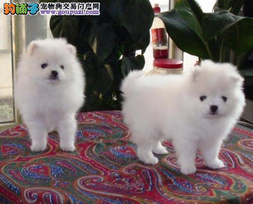 赛级品相鹤壁银狐犬幼犬低价出售国际血统认证