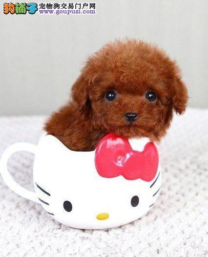 茶杯犬CKU认证犬舍自繁自销品相一流疫苗齐全