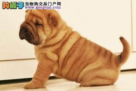 精品沙皮狗热销中 可看狗狗父母照片 绝对信誉保证