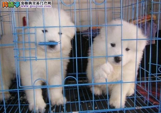 贵州买纯种萨摩耶狗场常年繁殖纯种萨摩耶幼犬