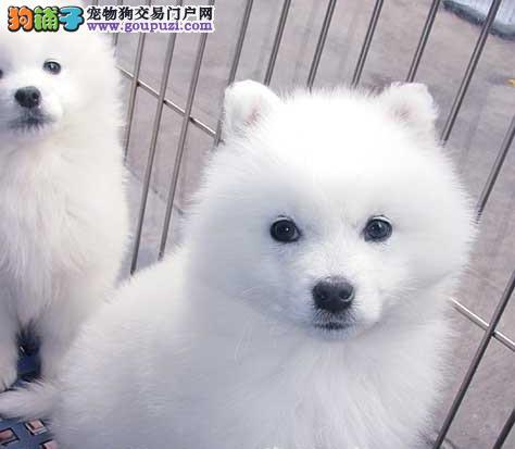家养多只镇江银狐犬宝宝出售中全国十佳犬舍