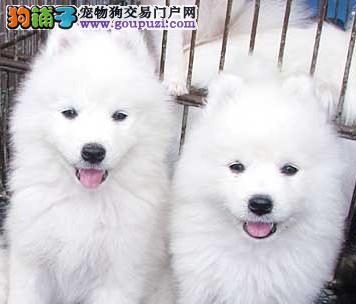 CKU犬舍认证出售高品质银狐犬价格美丽品质优良