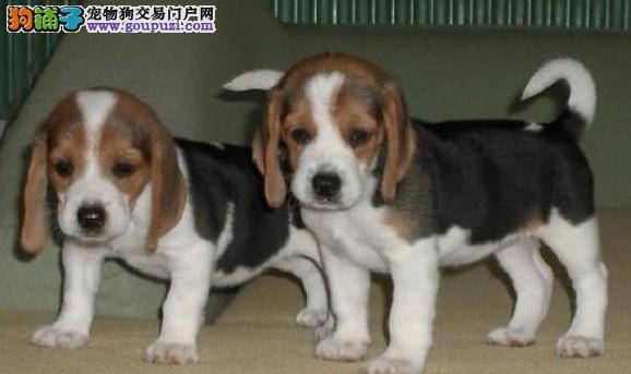 质量、血统、品相、上海比格犬专卖场、放心选购