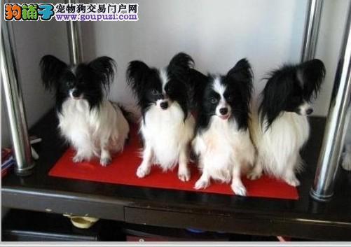 上海专业繁殖蝴蝶犬、高品质、血统、于一身、专业放心