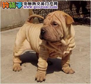 憨厚、皱皮、纯种高品质、沙皮犬、上海沙皮专卖场