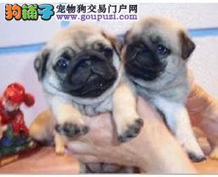 上海出售高质量、极品皱纹巴哥幼犬、可包质量