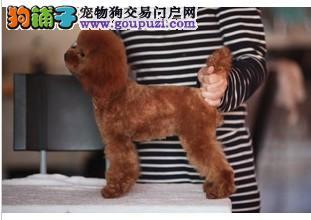 韩国正宗贵宾犬、质量保证、韩国CUK血统官方注册