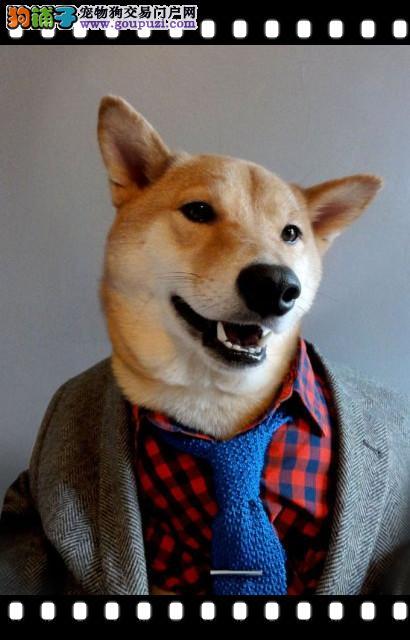 精品高品质柴犬幼犬热卖中三针疫苗齐全