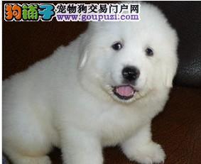 特供纯种大白熊犬 大白熊幼犬 保纯种和健康