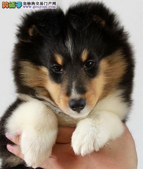 合肥哪里有卖喜乐蒂犬,合肥纯种喜乐蒂幼犬包健康纯种