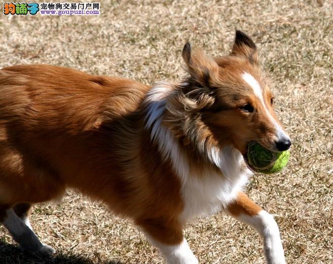 咸阳CKU认证犬舍出售高品质喜乐蒂一宠一证视频挑选