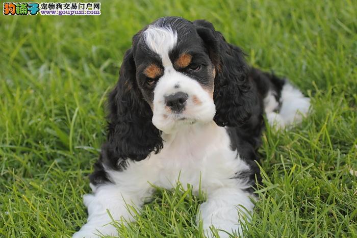 出售赛级品相可卡幼犬保健康包纯种