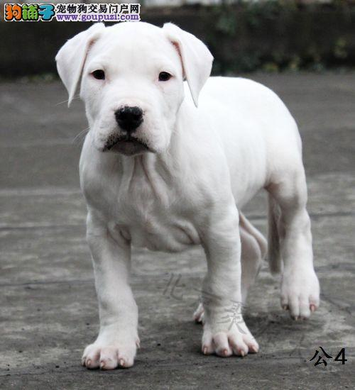 出售正宗血统优秀的杜高犬当日付款包邮
