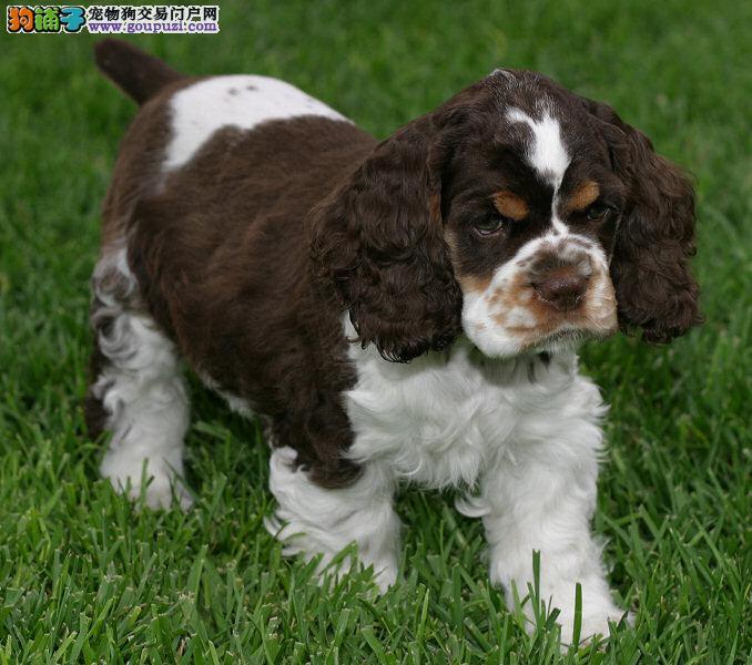 广州哪里有狗场出售可卡犬