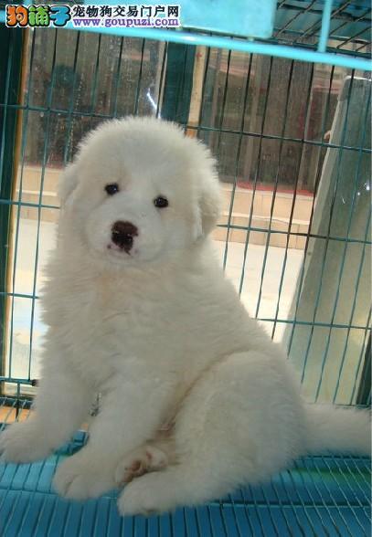 荆门大型犬舍低价热卖极品大白熊签署各项质保合同