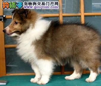 CKU认证犬舍 实物拍摄 苏牧幼犬 终身质保