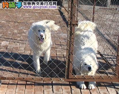 巨型大白熊幼犬 大白熊养殖场 大白熊价格 大白熊图片