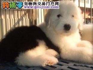 三亚出售极品古代牧羊犬幼犬完美品相签署质保合同