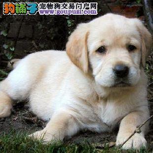 实物拍摄 给力拉布拉多幼犬 健康质保 签协议