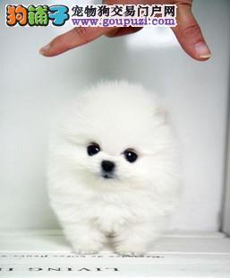 九年信誉 年年博美犬销量领先 以信誉为基础保障