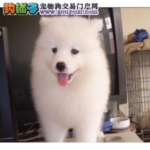 纯度第一+品质第一+价位最低~萨摩幼犬 健康质保