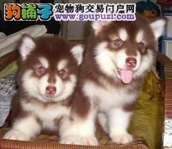 赤犬联盟拒绝虚假 一经证实不纯种十倍返款 阿拉斯加