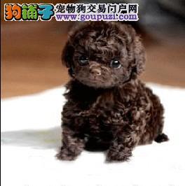 真诚出售红贵宾泰迪熊幼犬 家养玩具迷你茶杯型幼犬
