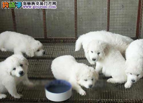 专业养殖基地 30只大白熊幼犬待售 实物拍摄
