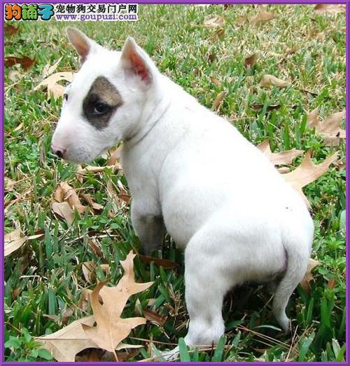 权威机构认证犬舍 专业培育牛头梗幼犬国际血统认证