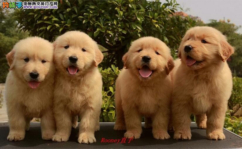 网上盗图太多,用心卖好狗的太少,欢迎爱狗人士上门选
