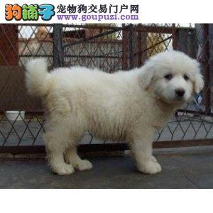 成都买大白熊幼犬首选(福缘犬业 专业售后 健康保障