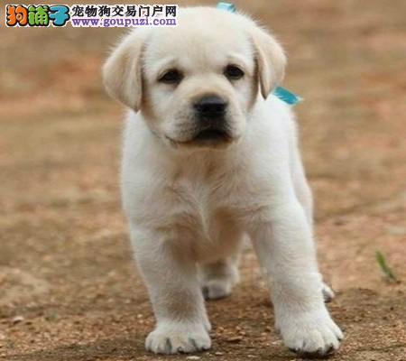 成都犬业协会推荐 高品质导盲小Q 家庭伴侣犬