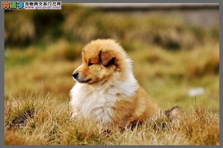 出售苏格兰牧羊犬宝宝、假一赔十纯度第一、购买保障售后