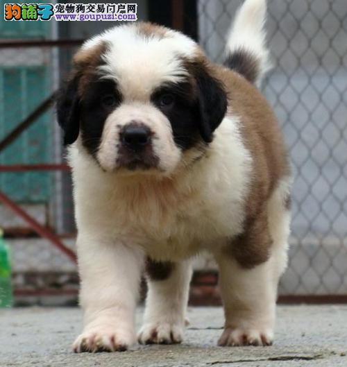 出售纯种健康的郑州圣伯纳幼犬微信视频看狗