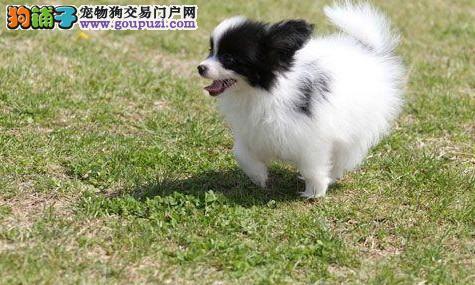 呼和浩特蝴蝶犬出售纯种蝴蝶犬 欢迎来本店选购
