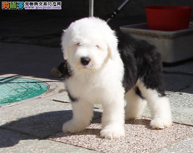 出售武汉古代牧羊犬健康养殖疫苗齐全可签订活体销售协议